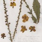 Verbascum x ramosissimum
