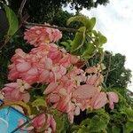 Mussaenda philippica Flower