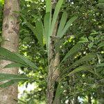 Evodianthus funifer