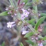 Micromeria graeca