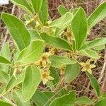 Campomanesia adamantium