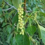 Populus balsamifera Fruit