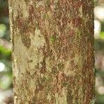 Geissospermum laeve