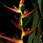 Heliconia metallica
