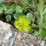 Euphorbia helioscopia Fleur