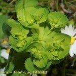 Euphorbia cuneifolia