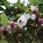 Rhododendron selense