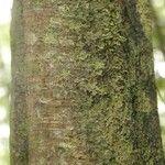 Eschweilera grandiflora