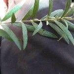 Buddleja Saligna Leaf