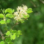 Acacia gourmaensis