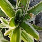 Aechmea fasciata Leaf