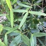 Alyxia clusiophylla