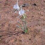 Pancratium trianthum