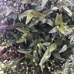 Gibasis geniculata List
