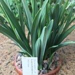 Galanthus alpinus