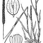 Phleum subulatum