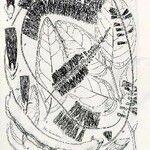 Archidendropsis paivana