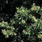 Chimarrhis cymosa
