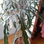 Plerandra elegantissima Foglia