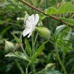 Silene noctiflora