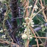 Cassytha filiformis Fruit