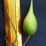 Blepharodon mucronatum