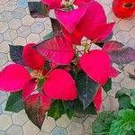 Euphorbia pulcherrima Foglia