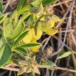 Crotalaria uguenensis