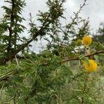 Acacia hockii Fleur