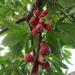 Syzygium malaccense Frukt