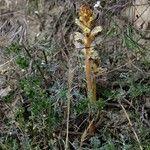 Orobanche artemisiae-campestris