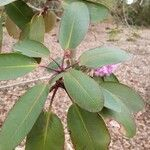 Rhododendron oreodoxa