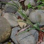 Eragrostis acutiflora