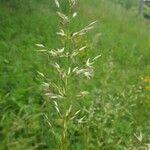 Arrhenatherum elatius subsp. bulbosum