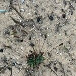 Plantago macrorhiza