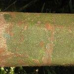 Protium aracouchini