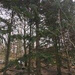 Picea jezoensis
