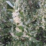 Elaeagnus umbellata 花