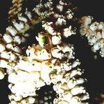 Cryosophila warscewiczii