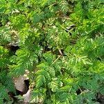 Conium maculatum Leaf