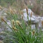 Carex ferruginea