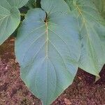 Piper auritum Blad