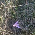 Colchicum longifolium Blomst