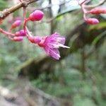 Lijndenia roborea