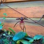 Bulbophyllum gracillimum
