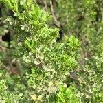 Searsia burchellii