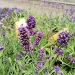 Lavandula angustifolia Flower