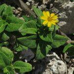 Wedelia calycina