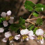 Malpighia aquifolia