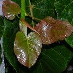 Ficus nymphaeifolia